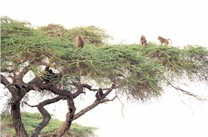 baboons_in_acacia_tree_29