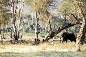 elephants_and_vultures_20