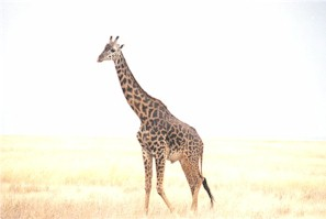 giraffe_up_close_19