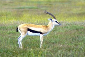 thompson_gazelle2_7